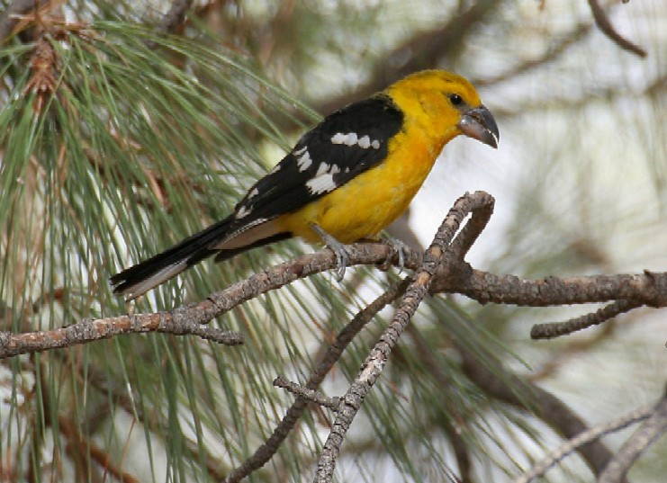 Yellow Grosbeak\\\'s Still at Kay\\\'s on 3/11/06