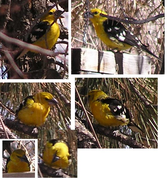 Rare Yellow Grosbeak in Albuquerque, New Mexico, Feb. 22, 2006