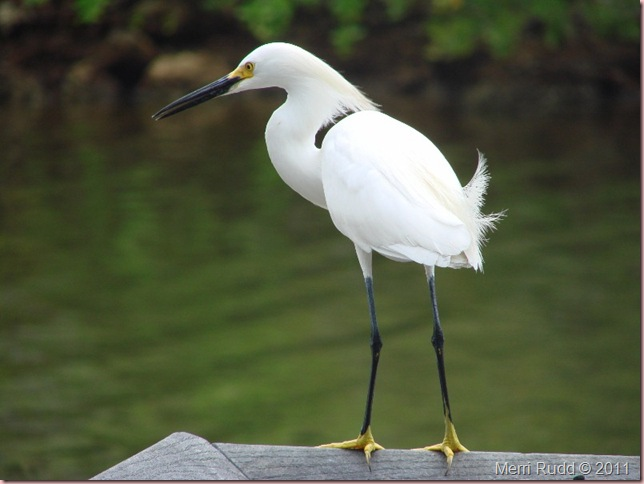 Egret FL 2011 (800x600)